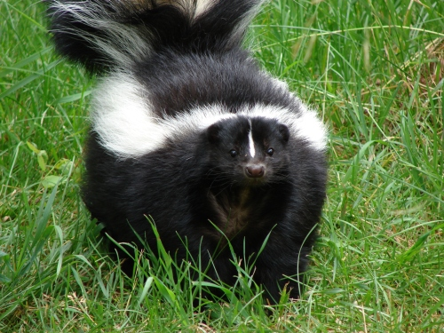 Skunk, copyright 2006 by Torli